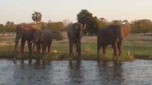 Elefanten trinken am Sambesi