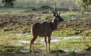Kudu Anthilope